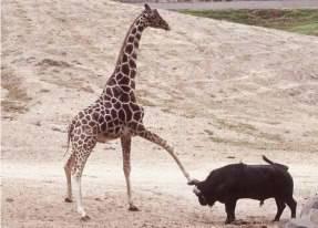 mentang panjang seenaknya sja memijak kepala hewan yg laen...!! licik uga yeah jerapah nya...!!!