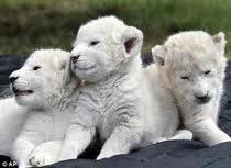 wow! white lion yang harga nya sangat mahal yg brkisar 3,5m.