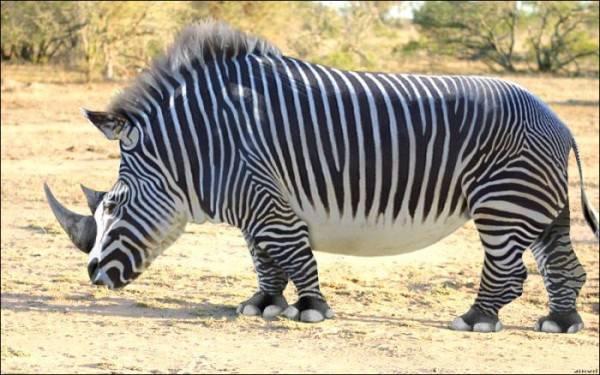 begilah jaadi nya. kalau zebra betina selingkuh dengan badak jantan.. alhasil anak mereka seperti ini.. WOW nya donong...