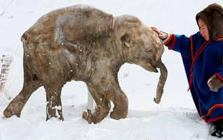 Pada Mei 2007, seorang peternak rusa dan pemburu bernama Yuri Khudi menemukan bangkai seekor anak mammoth berbulu di Arktik Rusia Semenanjung Yamal dalam keadaan beku. Bangkai itu dinamai Lyuba dan beratnya 50 kg . Mammoth berbulu tebal punya t