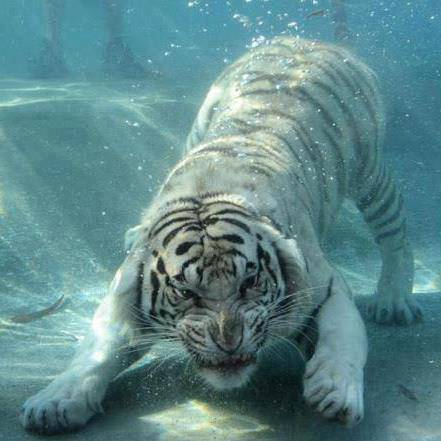 tiger under water, wow brow....