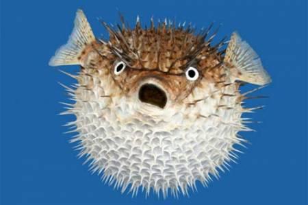 ikan buntal (Pufferfish) Bagian dari ikan buntal yang beracun adalah tetraodontoxin yang ditemukan dalam ovarium. Racun ini tidak hancur walaupun dimasak, ikan buntal hanya dapat dimasak dan khusus disiapkan oleh koki terlatih dan berlisensi.