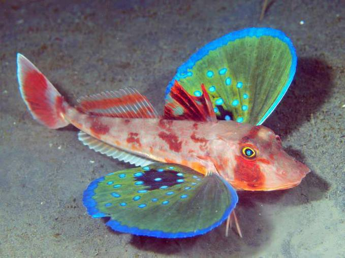 The Butterfly of the Sea: Red Gurnard. The Red Gurnard (Chelidonichthys spinosus)is one of 100 different species of Sea Robins, or Gurnards. These fantastic fish are normally found on the sea floor at depths of around 660 ft. They have a spec