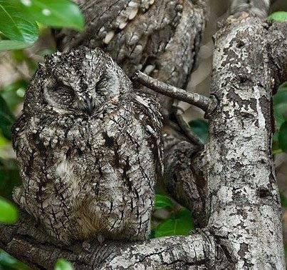 Silahkan KLIK WOW jika kalian lihat sosok Burung hantu di Foto Pohon ini,,,