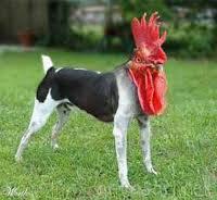 inilah persalinan antara ayam dengan anjing .. :) Unik ya hihi wownya Donk ;)