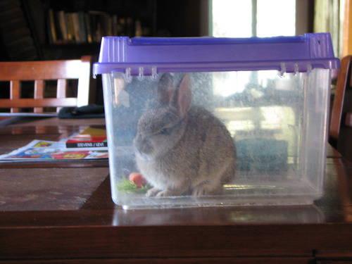 pemilik kelinci ini kesal melihat peliharaannya suka buang air sembarangan, denngan aroma kotorannya yang khas, kelinci ini harus menuruti apa kata Juragannya agar masuk TOPLES...^__^ ________________________ *) itung2 tempat nginep ter update