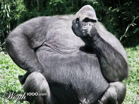 gorilla paling gendut wakwaw