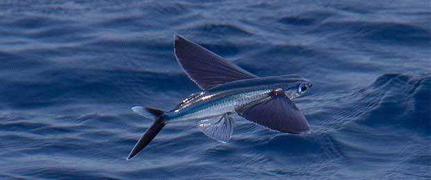 hah ikan terbang,kalian taukan logo indosiar jaman dulu.ini ada lo di kehidupanyata.ipun dapat terbang menempuh jarak 200 meter.ikan ini bukan sejenis burung,dll.tpikan yg mempunyai kecepatan yg sangat tinggi