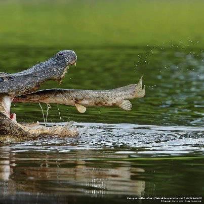 wow... ikan terbang masuk jebakan :)