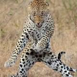 tiger gamnam style , jika anda kelik WOW tiger ini akan bergamnam style , :D