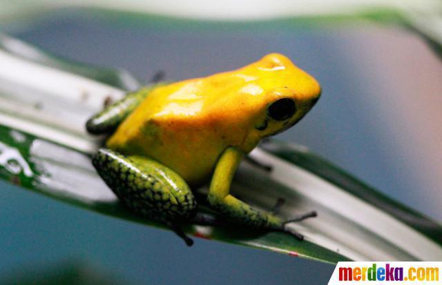 Katak cantik dan beracun (Phyllobates terribilis) Katak ini tergolong yang paling mematikan karena racun pada kulitnya dapat membunuh 100 orang dewasa hanya dengan sentuhan, (Brasil dan Kolombia di Santa Fe Zoo di Medellin terancam punah)