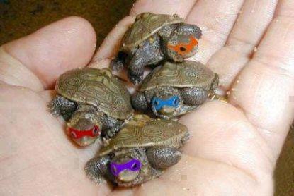 wah-wah bisa jadi kura-kura Ninja nih......!