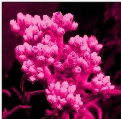 Edelweis, Bunga Abadi Lambang Ketulusan dan Pengorbanan Cinta