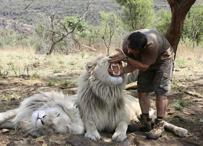 Singa Albino, Lucu-Lucu ya Gan =) Keberadaan Singa Albino ini sedang Terancam PUNAH ! :( Ksian Gan !