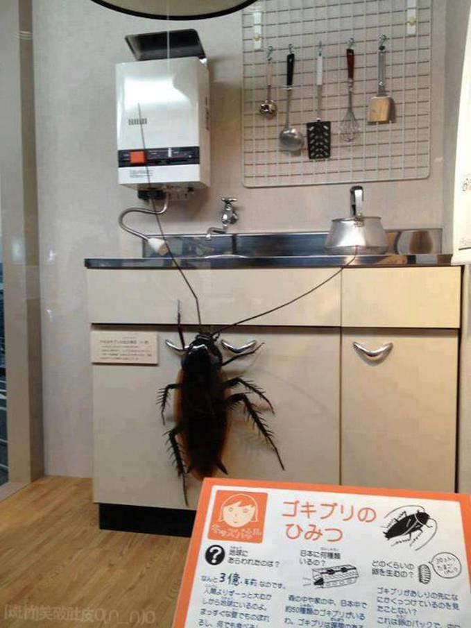apa yang kalian lakukan kalo ada kecoa ini di dapur kalian