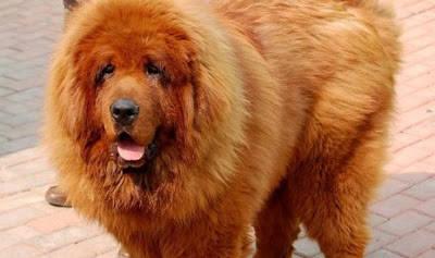 Pada 2011 lalu, anjing Tibet Merah bernama Hong Dong (11 bulan) berhasil dijual dengan harga 945 poundsterling (Rp 14,5 miliar). Sang pemilik, Lu Liang, menjual Hong Dong kepada seorang milyuner pengusaha batu bara wow a donk