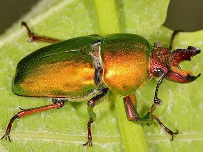 Kumbang Stag sepanjang 3 inci ini dihargai US $ 89,000 (855 juta rupiah). Penjualnya seorang peternak kumbang di Jepang dan dijual pada toko serangga di Jepang. Entah, berapa harga yang akan dihasilkan bila ada kolektor yang berminat wow a donk