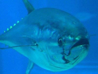 Ikan tuna seberat 754 pound (lebih dari 350 kg) ini terjual dengan harga fantastis, US $ 396,000 atau 3,8 milyar rupiah. Pengusaha sushi di Hong kong yang membelinya dari pasar ikan di Tsukiji, Tokyo
