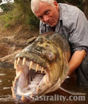 Ikan terseram di dunia ikan ini pemangsa buaya Giginya tajam bgt serem juga ya kalau ada di Indonesia