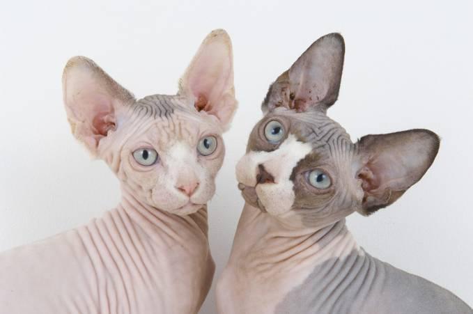 kucing Sphynx adalah kucing tanpa bulu yang berasal dari mesir. kucing ini sering kali dibilang menjijikan ataupun kucing tua yang keriput. dibalikhal itu kucing ini sangat di minati orang orang di France. kucing ini ada yang dijual 30 juta