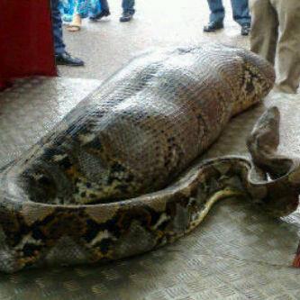 seekor ular telah memakan 2 ekor anjing......!