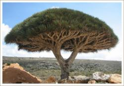 Pohon Darah Naga : Pohon Yang Mengeluarkan Darah