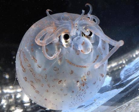 Di dunia ini memang aneh-aneh, koran Inggris Daily Mail melaporkan seekor cumi-cumi yang tersenyum dan lucu. Menurut laporan, ilmuwan di Cabrillo Aquarium Southern California baru-baru ini menemukan sebuah cumi-cumi kecil.