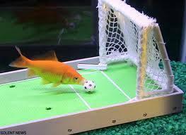hebat ya, ikan aja di dalam aquarium main bola. keren