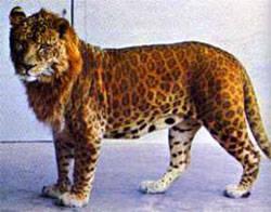 Leopon Leopon merupakan hasil persilangan antara Leopard (macan tutul) jantan dengan Singa (Lion) betina. Leopon mempunyai kepala seperti singa sementara tubuhnya menyerupai leopard dengan corak totol-totol.
