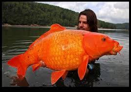 ikan emas raksasa di Manado. WOW!!