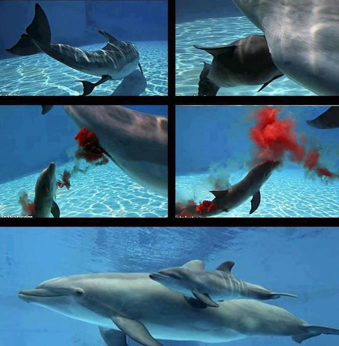 wwwOoooowww.. jadi begini ya cara lumba-lumba melahirkan anaknya