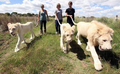 Dengan membayar sejumlah uang, wisatawan bisa menikmati sensasi berjalan-jalan dengan singa, di sebuah area konservasi di Afrika.