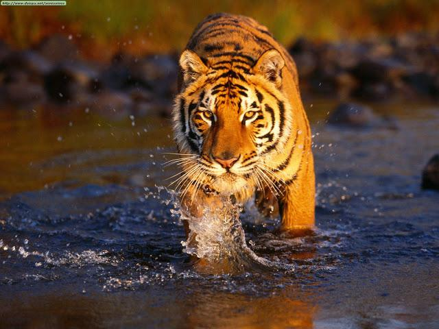 Harimau Bengal, atau Royal Bengal tiger (Panthera tigris tigris atau Panthera tigris bengalensis) adalah subspesies harimau yang dapat ditemukan di India. Menurut WWF ada sekitar 2.000 harimau Royal Bengal di alam liar saat ini, termasuk 1.411.