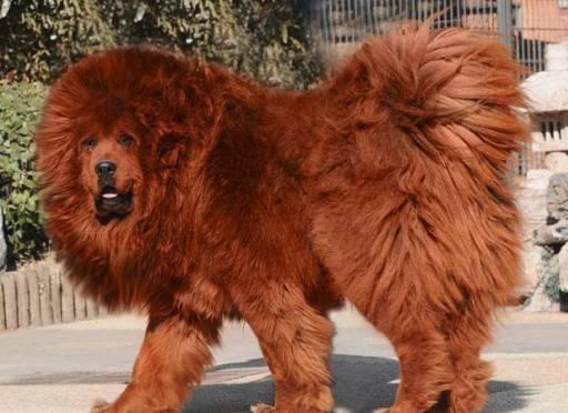 Anjing Termahal di Dunia, Harganya Rp 14 Miliar