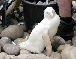 gambar pingwin albino ter langka di dunia kasian ya padahal lucu kalau mau ngerawat tolong kassih wow ya untuk dia