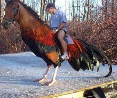 Tebak hayoo !! ini naik Kuda apa naik ayam ??? Wow sebelum komen !!!!