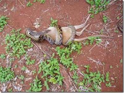Apakah anda pernah membayangkan seekor ular makan kangguru???