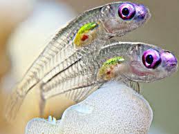 ikan yg tembus pandang.. keren...