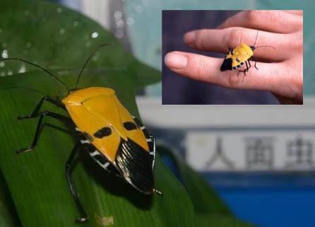 Kumbang ini mirip wajah seorang laki-laki, termasuk spesies Catacanthus Incarnatus, berasal dari pulau Lombok, Indonesia.