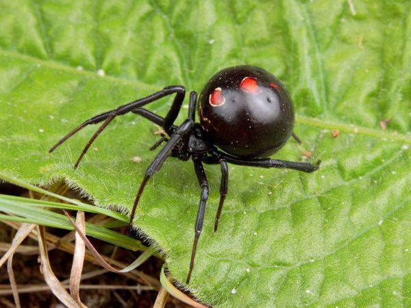 Black Widow, Laba Laba Paling Beracun