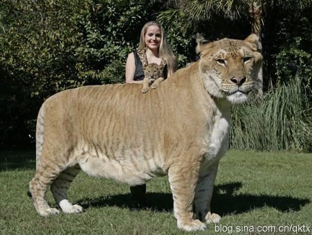 Hercules Ini jenis Kucing terbesar di dunia. WÒöò...öòöww..:O?°?