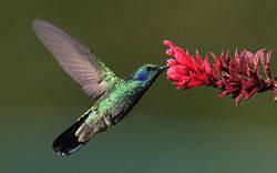 Kolibri termasuk dalam keluarga Trochilidae. Mereka masuk dalam kelompok burung kecil, dan salah satu jenis kolibri yakni Kolibri Lebah, adalah burung terkecil di dunia yang pernah ditemuka. Mereka dapat melayang-layang di udara dengan mengepak