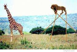 Singa ini ingin menyamai jerapah tingginya....