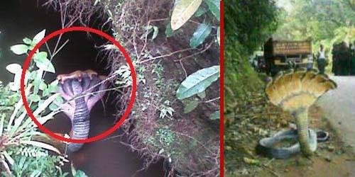 Baru-baru ini telah beredar sebuah foto menghebohkan chat pribadi BlackBerry Massenger (BBM). Dimana gambar tersebut menunjukan seekor ular dalam satu tubuh memiliki 7 kepala. Diketahui gambar tersebut diambil di Kawasan Camba, Kabupaten Maros.