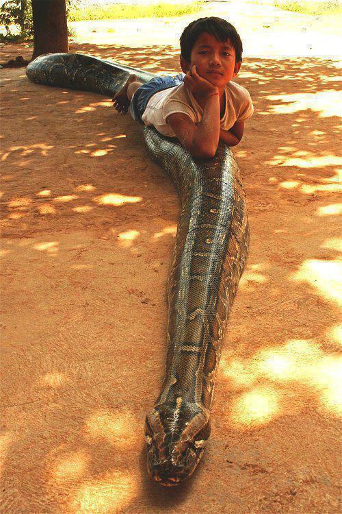 Anak kecil ini mempunyai teman yang sangat akrab, gak tanggung-tanggung temannya itu adalah seekor ular Phyton yang mencapai panjang 5 meter...setiap harinya ular ini makan 10 ekor ayam.
