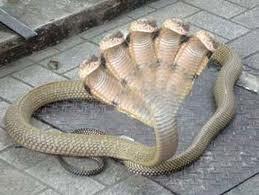 Wiih Cobra kepala 5... ada yg pernah lihat...??? Wownya donk