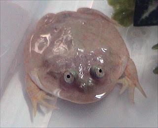 Budgetts Frog Amfibi ini disebut juga Escuerzo atau Katak Mulut-Lebar. Merupakan spesies katak yang tergolong langka karena kehilangan habitatnya. Hewan ini berasal dari Argentina, Paraguay, dan Bolivia, dan hidup di savana kering.