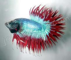 Siapa yang tidak mengenal ikan cupang? Ikan kecil yang sangat populer dikalangan para hobiis ini memiliki daya tarik tersendiri. Di pasaran terdapat dua jenis ikan cupang yakni cupang adu dan cupang hias. Varietas cupang hias dikenal dengan nam