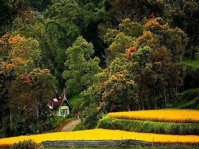 pemandangan yang sangat indah, padi yang menguning seperti emas dan pepohonan yang menghijau, hmmmmmm.......ademmm.,.,.,. matur sumatera barat
