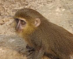 Spesies monyet yang baru ini diidentifikasi di Republik Demokratik Kongo seperti dilansir Guardian, 13 September 2012 lalu. Nama latin lesula adalah Cercopithecus lomamiensis, dideskripsikan sebagai pemalu dan pendiam.
